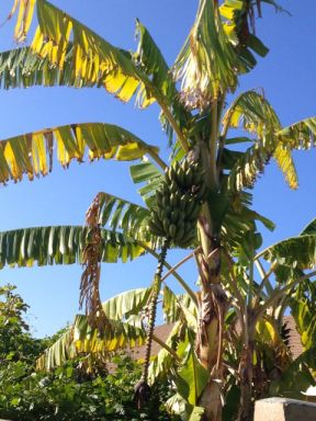 Banana tree - fresh fruits in December!