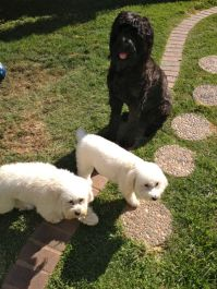 PerlE and Marshi a now friends with the Giant Schnauzer Atticus.