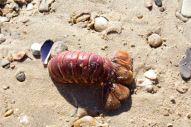 Ist das der Lobster Tail, den ich gestern zum Abendessen hatte?
