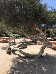 corky tree